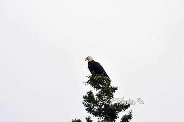 Eagles bird of prey