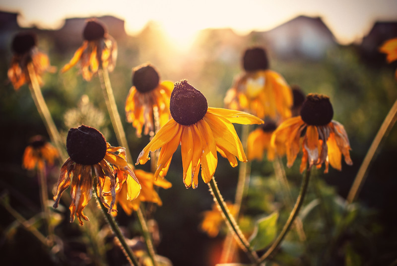 flowers sunset explosion close wlodawa summer LRG.jpg