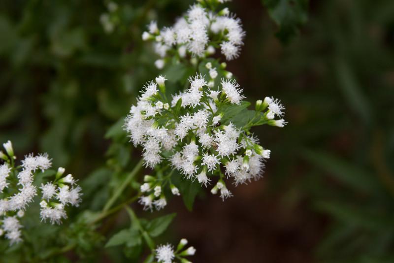 Eupatorium serotinum - Boneset
