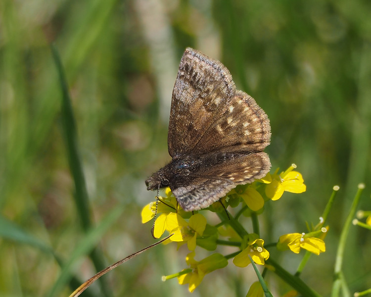 Dreamy Duskywing, female