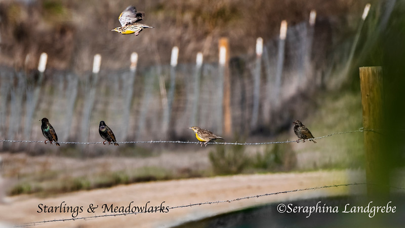 _DSC4982Starlings & Meadowlarks.jpg