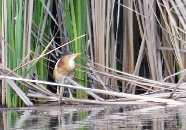 Least Bittern made a very rare appearance - 5/5/2019 - Poway Pond