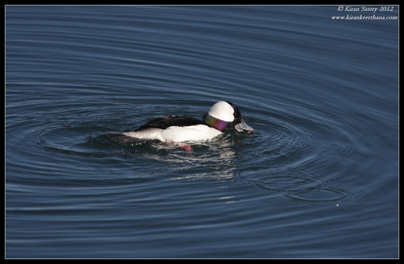 Male Bufflehead with food, Robb Field, San Diego River, San Diego County, California, February 2012