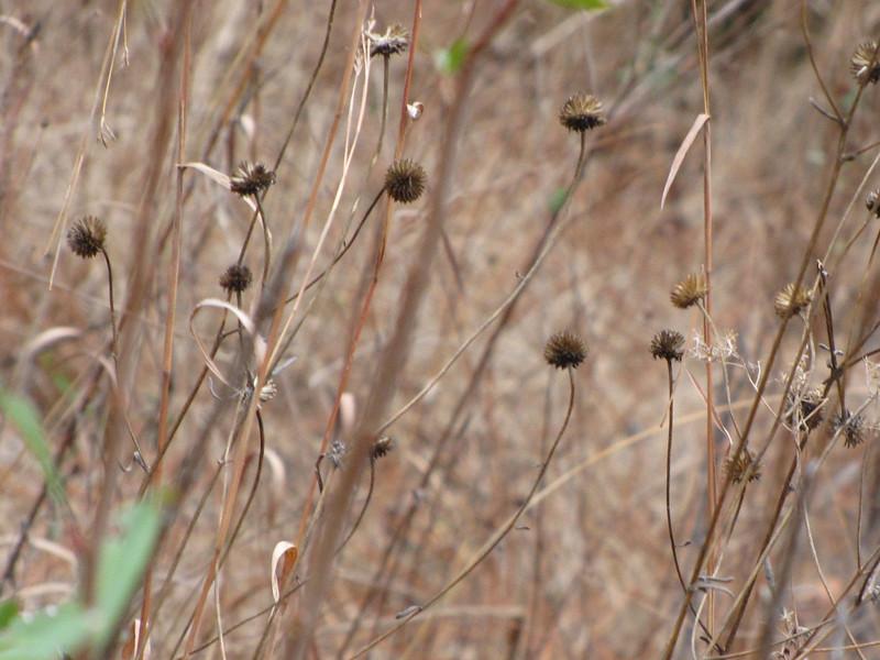 seed pods.JPG