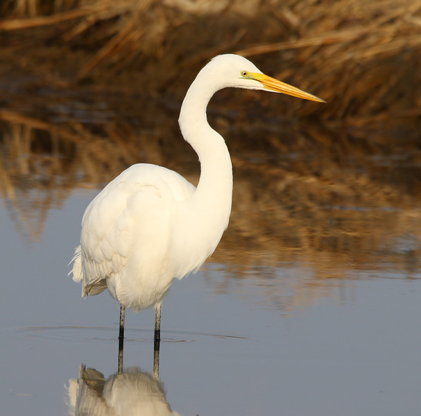 great white egret water.jpg