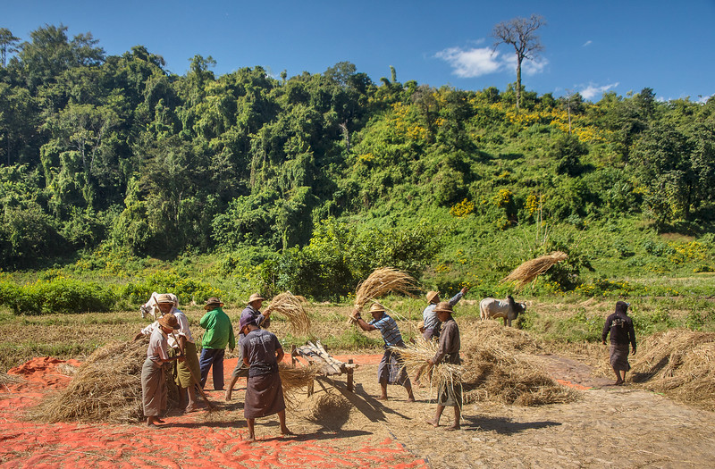 In central Myanmar, men threshing (separating the grain from the straw) rice which has been  harvested by the ladies.