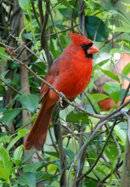 cardinal sitting pretty.jpg