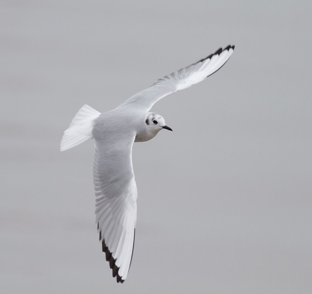 Bonaparte's Gull adult winter Superior Entry Wisconsin Point Douglas Co WI IMG_0451.jpg