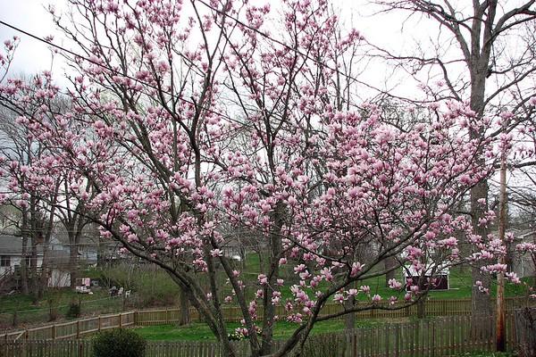 March 26, 2007:  A beautiful tree in the backyard .  .  .