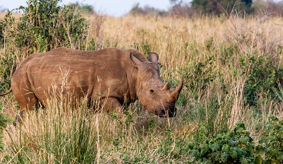 Rhinos, Lions, Monkeys, Southern Ground Hornbills, S. Africa, 2013