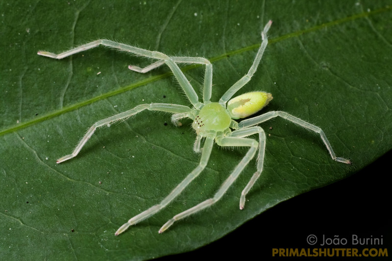 Green huntsman spider (Sparasidae, Olios sp.) in Intervales State Park, Brazil. South-east atlantic forest reserve, UNESCO World Heritage Site.