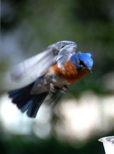 Bluebird6.jpg