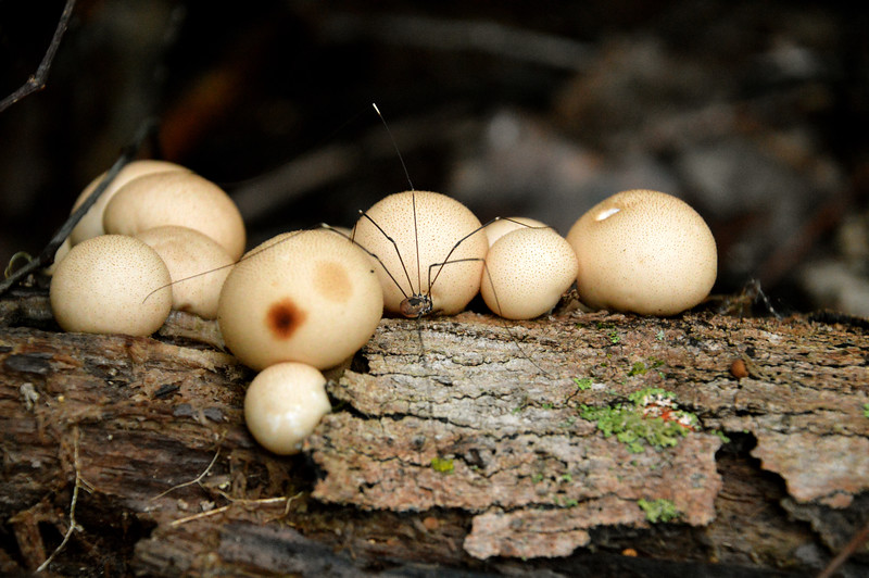 Mushrooms-daddly-longleggs.jpg