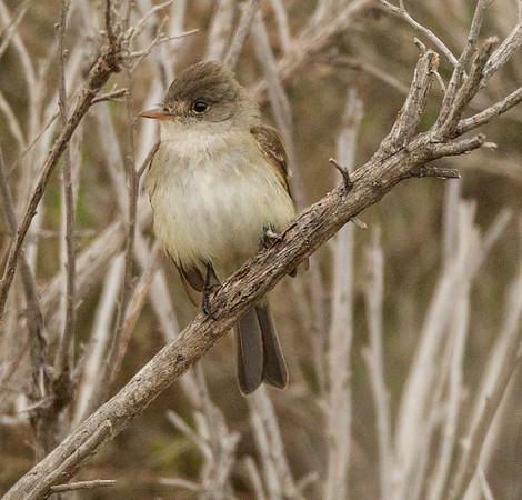 Willow Flycatcher Empidonax traillii