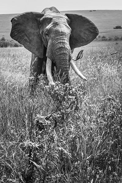 Kenyan Giant.JPG