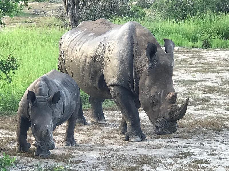 Mama & baby rhino - Swenson