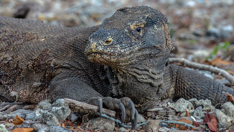 Komodo Dragons-2236.jpg