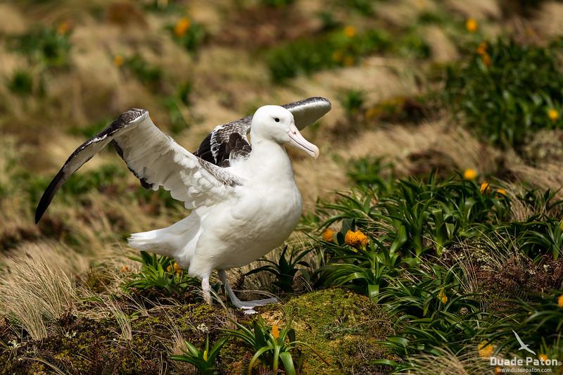 SouthernRoyalAlbatross-CampbellIsland,NZ-12-12-13-2.jpg