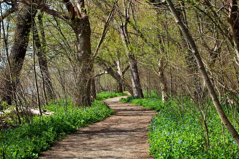 Bluebells along the Riverbed Park trail