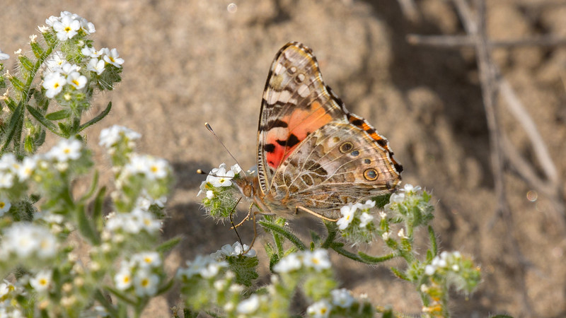Painted Lady on Mojave Popcorn Flower