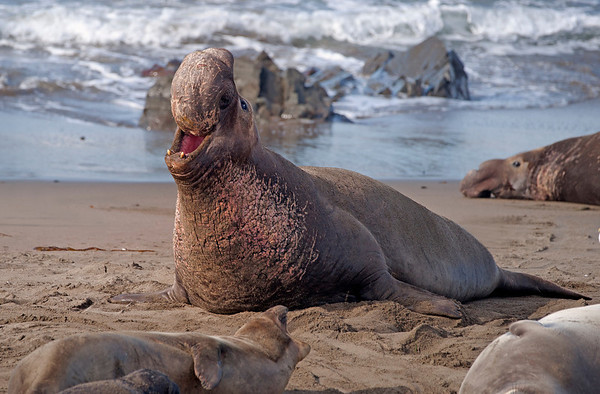 Northern Elephant Seals in Winter--a Photo Blog