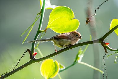 Vinous-throated Parrotbill [Sinosuthora webbiana]