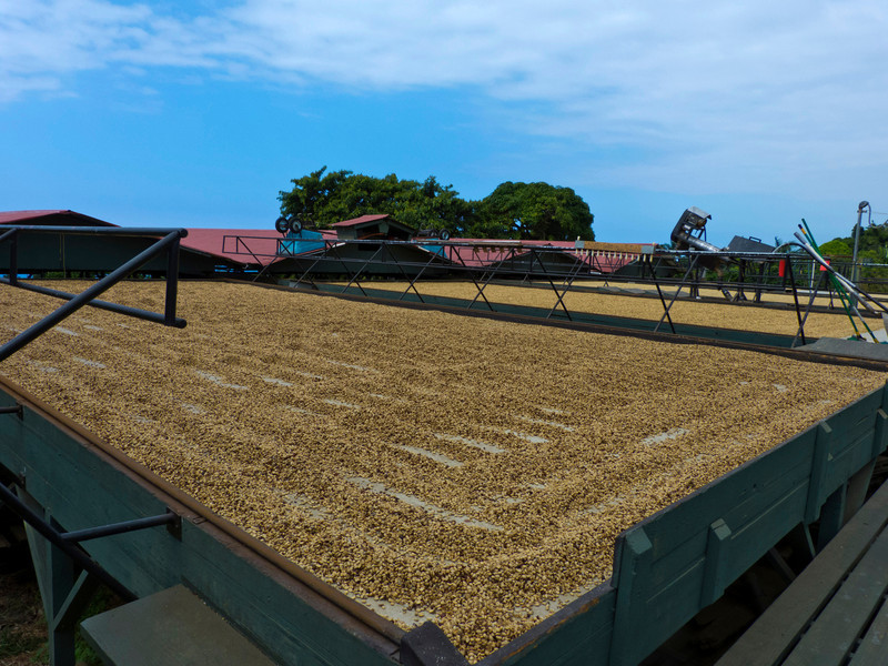 The outdoor coffee drying beds at Greenwell Farms