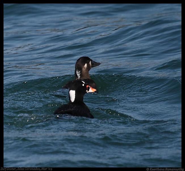 Surf Scoters, Pelagic Trip Pacific Ocean, San Diego County, California, March 2009