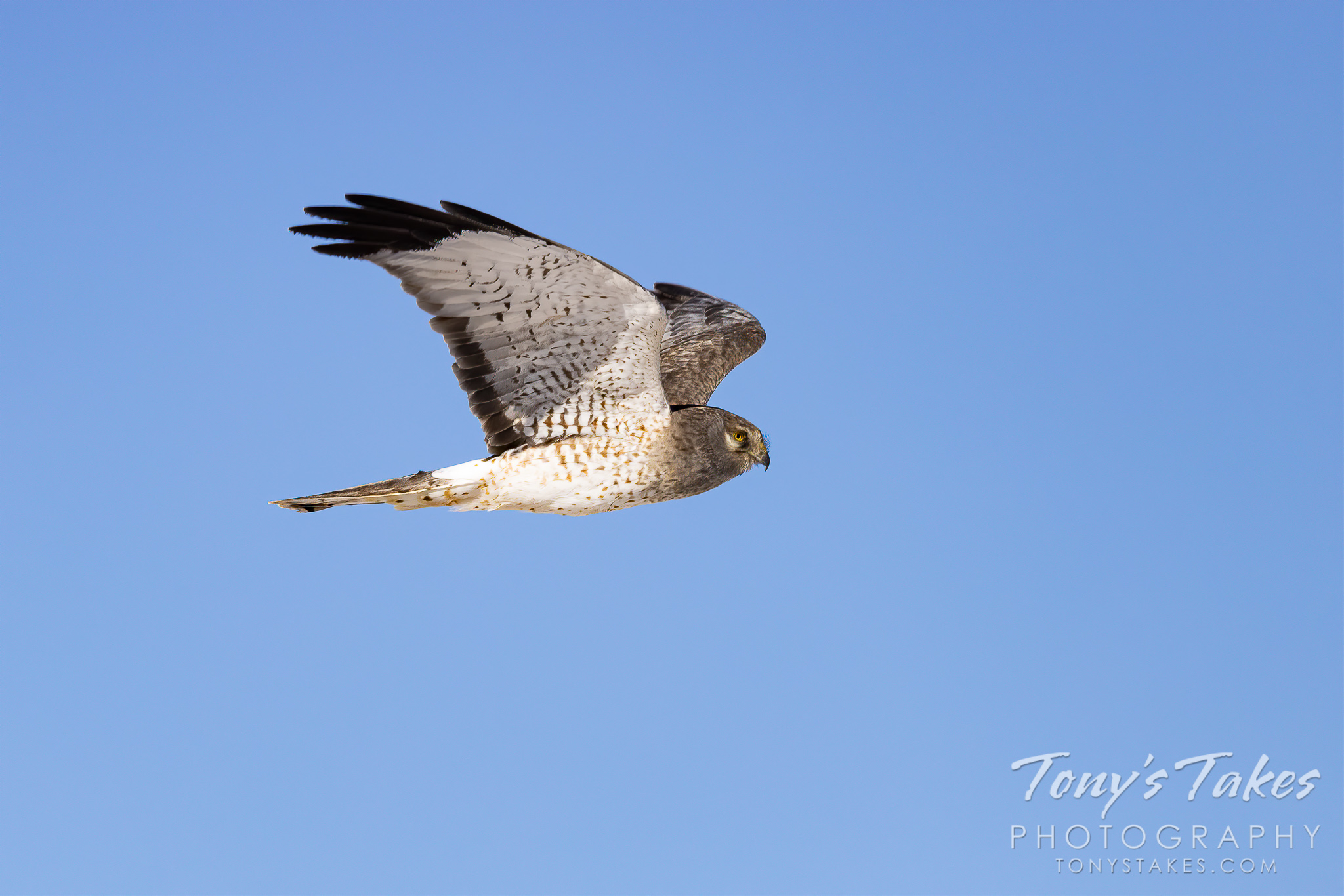 A male northern harrier, the gray ghost, flies across a blue, Colorado sky. (© Tony's Takes)