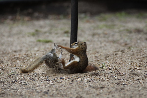 Red Squirrel Attack