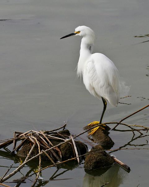 5735 Snowy Egret lrps 8x10.jpg