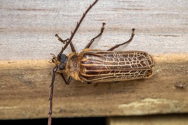 Prionoplus reticularis - Huhu