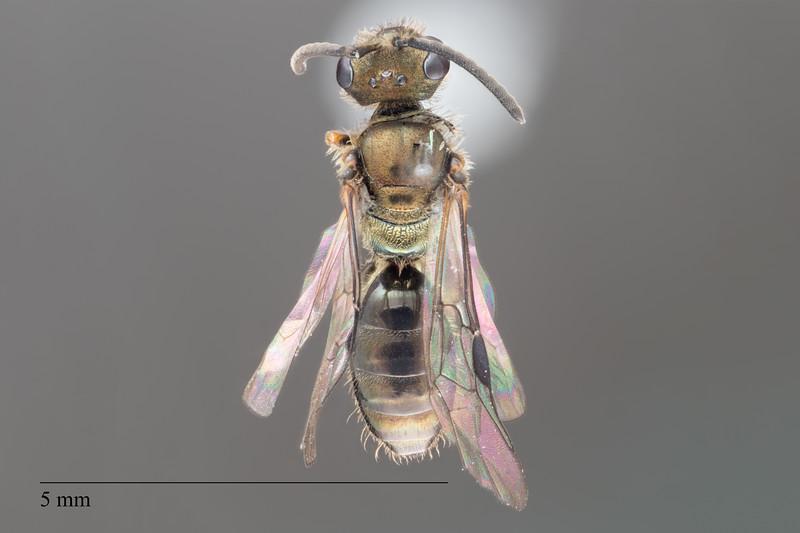 Homalictus atritergus male