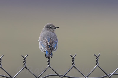 Mountain Bluebird ♀