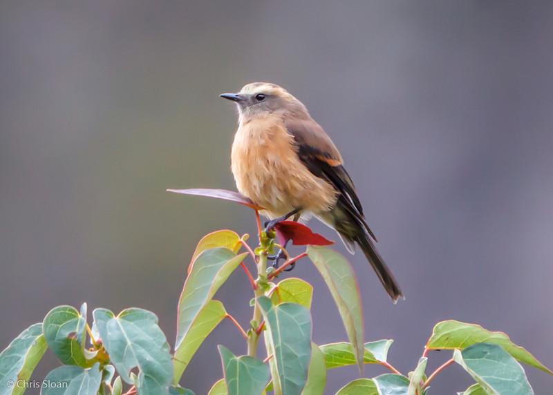 Brown-backed Chat-Tyrant at Antisana Reserve, Ecuador (03-08-2014).jpg