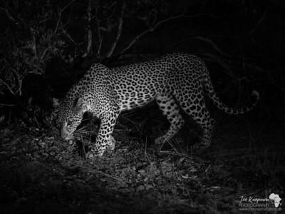 Night Leopard 1