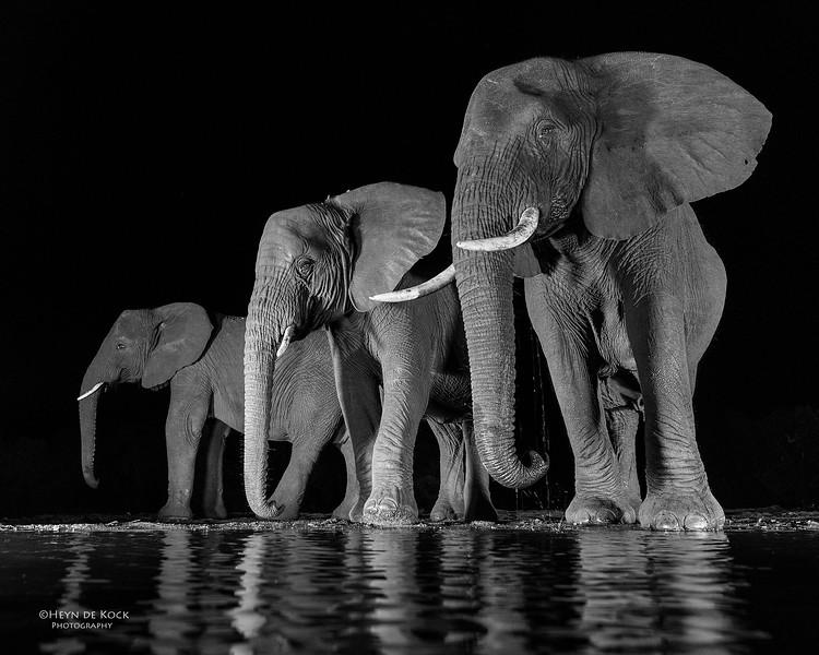 African Elephant, b&w, Zimanga, South Africa, May 2017-4.jpg