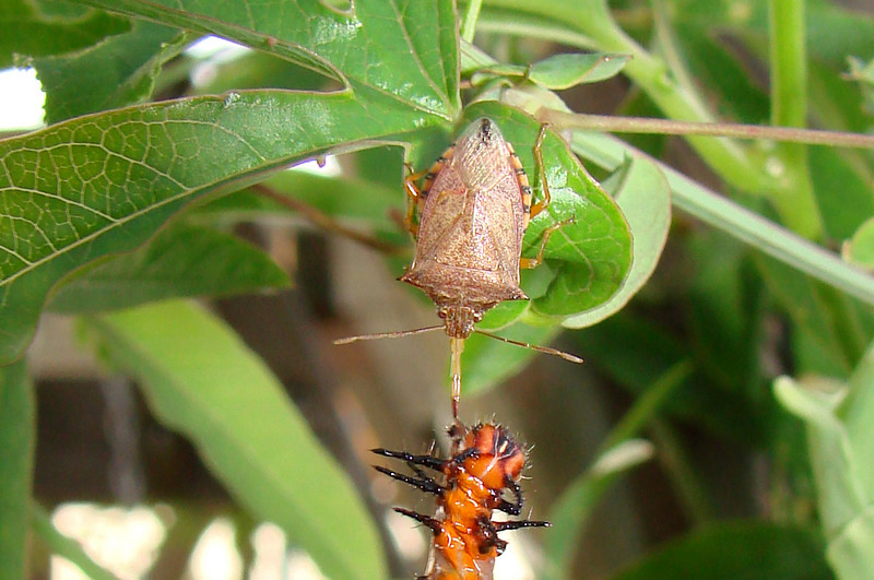 Spined Soldier Bug (Podisus maculiventris) eating a Gulf Fritillary caterpillar.  TX: Tarrant Co. (Duhons' Fort Worth yard), 12 July 2007.