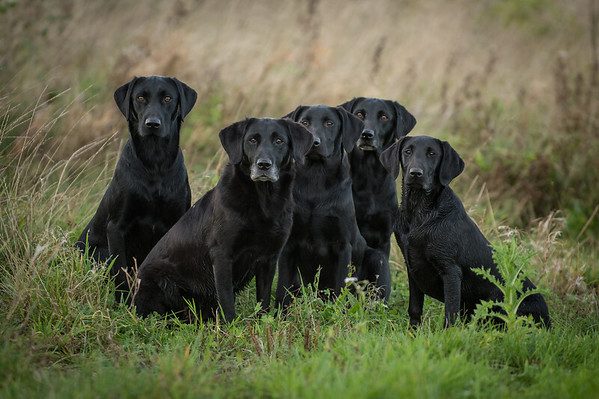 Chemsell Gundogs