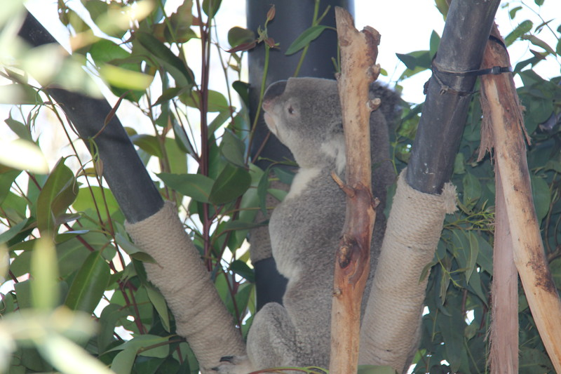 20170807-035 - San Diego Zoo - Koala.JPG