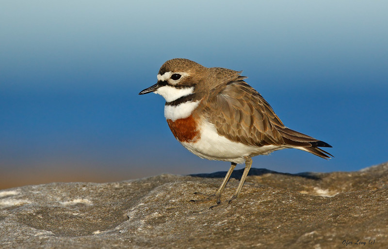 Double-banded Plover 1.jpg