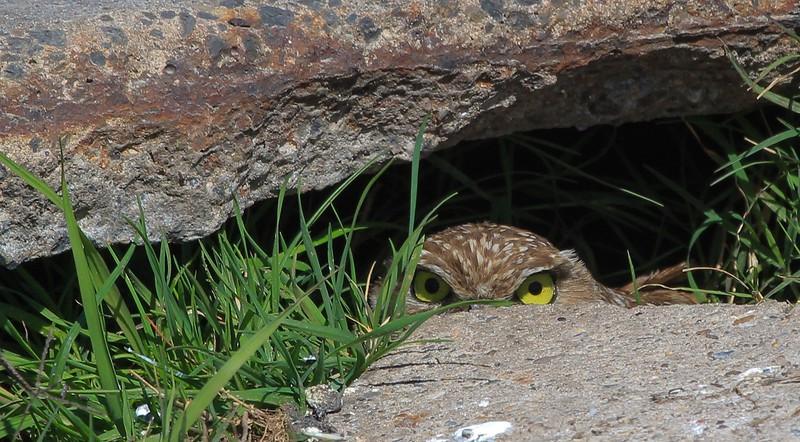 zzAnahuac,2-16-16 580A Burrowing Owl.jpg