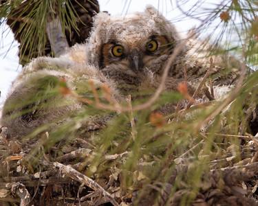 Acton Owlets