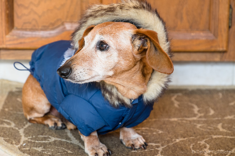 Baxter, posing in his new winter coat