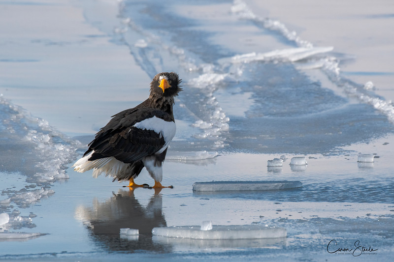 Steller's Sea Eagle on sea ice