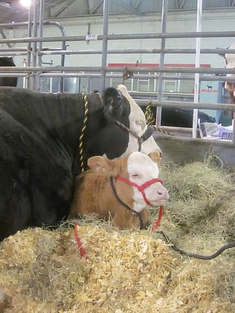 San Antonio Stock Show and Rodeo 2012