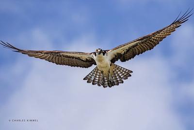 Osprey: 2020