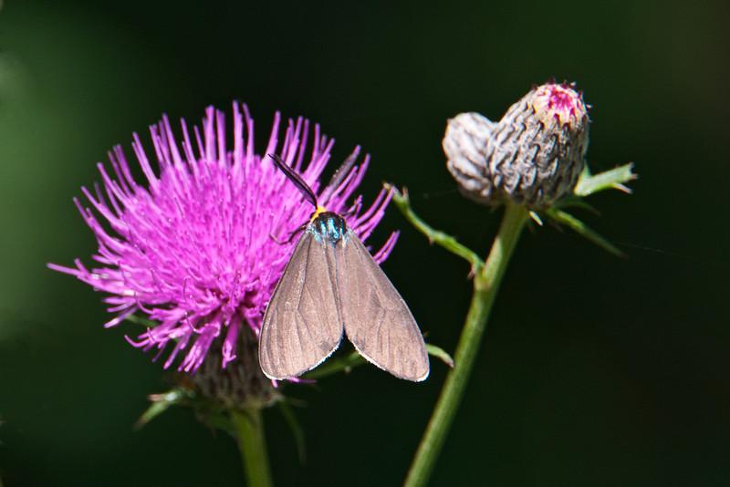 Ctenucha - Virginia - (Ctenucha virginica) - Dunning Lake - Itasca County, MN