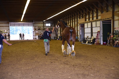 Clydesdale Mare 3-4