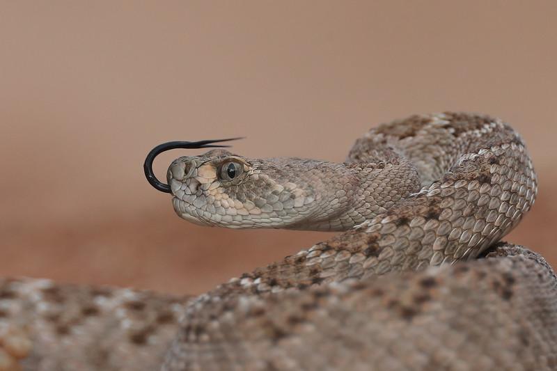 Western Diamondback Rattlesnake
